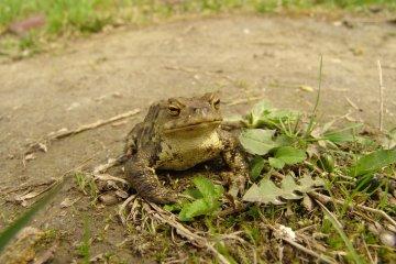 Ropucha obecná (Bufo bufo), PR Zábřežské a Koutské louky, 20. 4. 2004