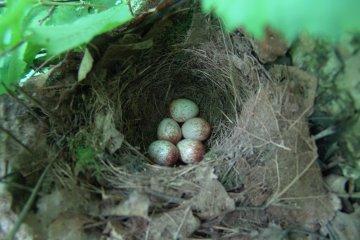 Červenka obecná (Erithacus rubecula), Chropyně, 12. 6. 2004