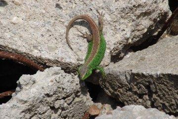 Ještěrka obecná (Lacerta agilis), Záříčí, 8. 5. 2004